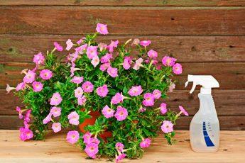 Подкормка для петунии: чтобы растение хорошо росло