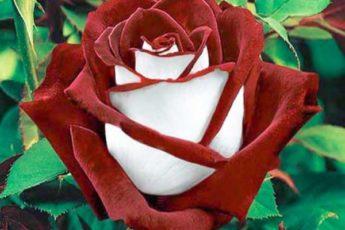 Подборка шикарных, долго цветущих сортов роз