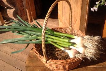 Как правильно посадить чеснок под зиму и вырастить богатый урожай
