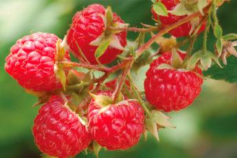 5 проверенных способов размножения малины