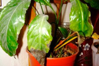 Сохнут и чернеют листья у спатифиллума