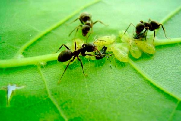 Сода — проверенное средство от муравьёв в огороде