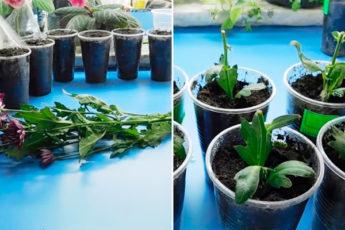 Самый простой способ укоренения хризантем из букета