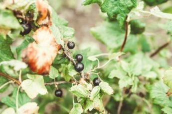Почему мельчают ягоды смородины – 4 главные причины