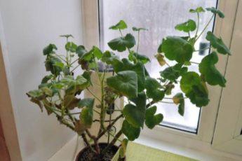 Как помочь герани, если у неё зимой сохнут листья