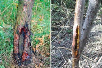 Что делать, если на яблоне трескается и отслаивается кора