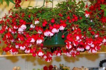 Правильный уход за фуксией в домашних условиях - залог регулярного цветения