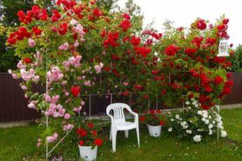 Плетистые розы: правила посадки и уход
