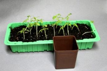 Выращивание рассады томатов без пикировки