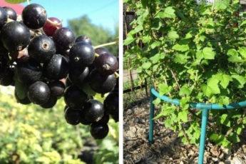 7 важных советов, после которых смородина даст богатый урожай