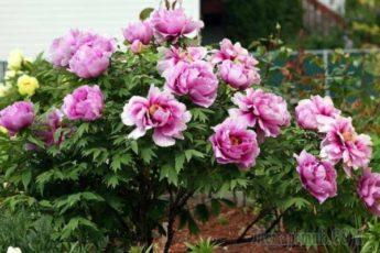 Посадка пионов весной: стоит ли вообще за это браться