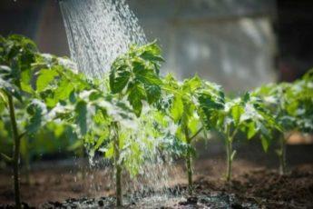 Чем подкормить помидоры после высадки в теплицу из поликарбоната