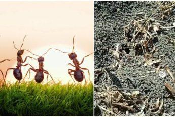 Быстрый и доступный способ избавления от муравьев без приманок. Рабочий метод
