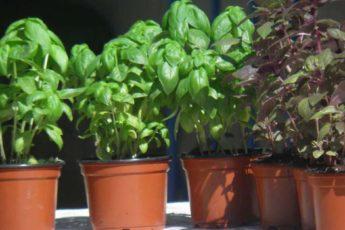 Базилик из черенка за 7 дней. Даже из самого крошечного растения можно получить целые заросли!
