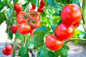 Как увеличить урожай томатов в открытом грунте вдвое