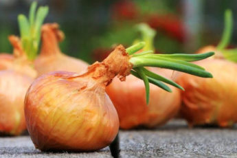 Чем подкормить лук, чтобы был крупный