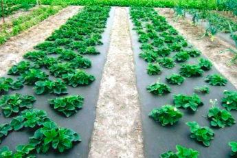 Как садить клубнику под агроволокно — особенности технологии