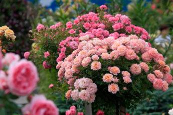 Розы летом: как правильно ухаживать, чтобы продлить цветение