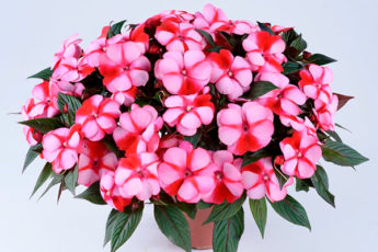 """Идеальный цветок для начинающих цветоводов """"Ванька мокрый"""""""
