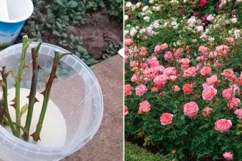 Очень простой способ осеннего черенкования роз в открытом грунте